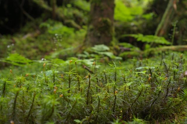 北八ヶ岳は、コケが有名。 せっかく一眼レフを盛ってきたので、ちょっと撮影。 若干ぼかして、一眼レフらしい作品を。