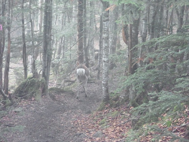 さらに進むと。 ん、前方に何かいる。 鹿が先行して歩いていました。