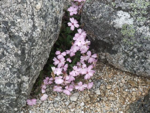 たまには高山植物の写真でも。 これは「タカネビランジ」。 南アルプスの高山帯のみで見られる、貴重な植物なのです。