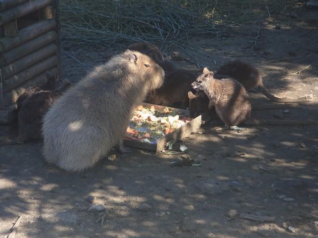 カピバラとワラビーが仲良く食事中。 一緒に飼育してていいのか?