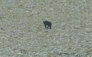 バス停までの長い長い道のりを歩いていると。 あぁ、出会ってしまった。 小熊が河原を走っていました。 親熊に注意しながら、慎重に。