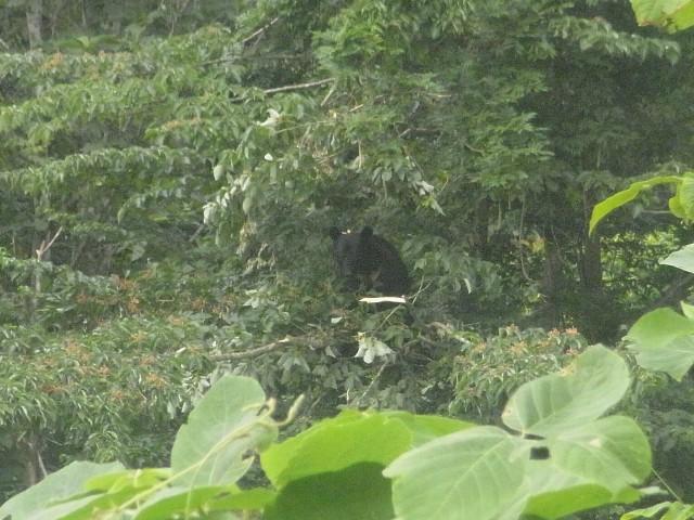 また出会ってしまった。 距離にして30mくらい。 木の上でのんびりとどんぐりを食べている様子。 気づかれないように、ゆっくりと立ち去りました。