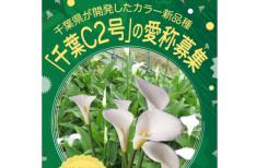 花に名前をつけよう!千葉開発「カラー新品種の愛称募集
